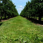 Obtsplantage in Holland